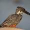 Giant Kingfisher 02