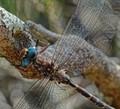 blue-eyed dragonfly