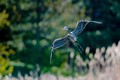 Big Blue Heron coming