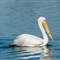 White Pelican 007