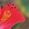 2014-11-15 Hibiscus lizards Greenmount 001