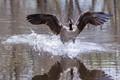 Splashdown - Canada Goose
