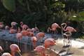 Sea World's Flamingo
