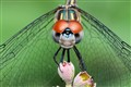 dragonfly staredown