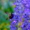 Bee_sm