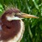 Tricolored Heron (Egretta tricolor) Chick