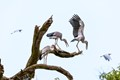 A group of Asian openbill storks just back home after a long hunting day.