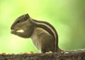 Palm_Squirrel_IMG_8690