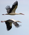 A pair of storks