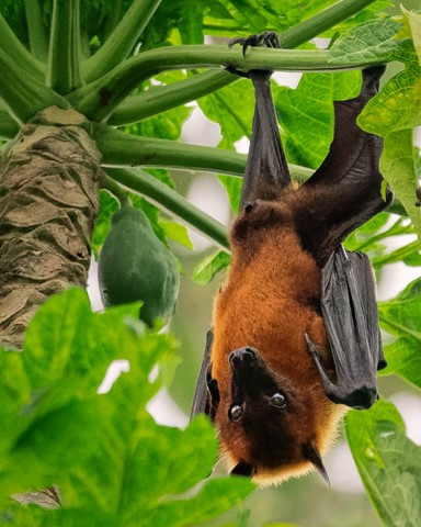 Giant Indian Flying Squirrel