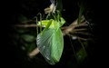 Katydid hangs suspended from moulted shell