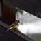 BIRD_PICT5619_YRWarblerF2