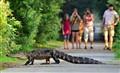 Alligator crossing trail