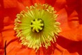 Yellow on Orange Icelandic Poppy