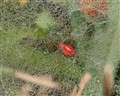 Red Spider in THe Yard