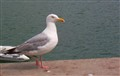 Herring Gull - Up Close & Personal