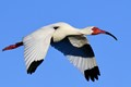 Ibis in-flight