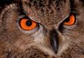 Eye of the Eagle (owl)