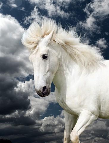 Russo- Camargue horse