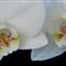 Orchid 100% crop
