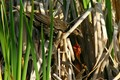 Yellow head Black birds nest in the reeds just above the water near the edge of the swamp or pond