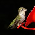 Ruby Throated Hummingbird - female