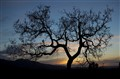 Bare Oak at Sunset