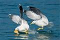 Petar_Sabol_seagulls