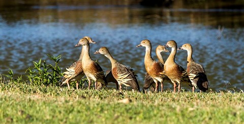 Plumed Whistling-duck email ed