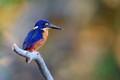 Azure Kingfisher at Kakadu