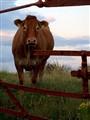 Evening En-cow-nter