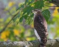 Cooper's Hawk is a tentative ID but bird was right size (crow size) and coloration.