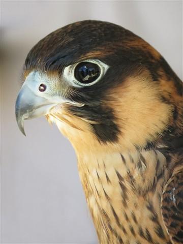 Hawk 1337A 1024