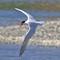 IMG_0300_tern-fly-1