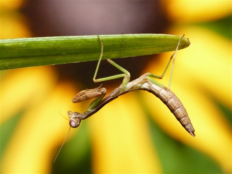 Tiny Mantis 03