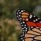 Monarch_fullsized._SPP_crop