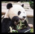 Giant Panda at Chengdu, China