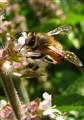 African worker bee
