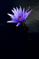...the water lily...