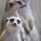 meerkats_3700