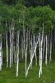 Black Hills Birch