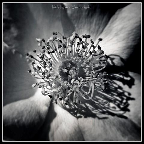 Pink Rose - Sinister Edit