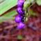 PurpleBerries