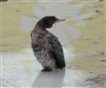 young cormorant on the ice