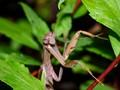 Mantis Awaits