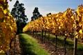 Vine after harvesting