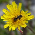 Hymenopteran on a yellow flower