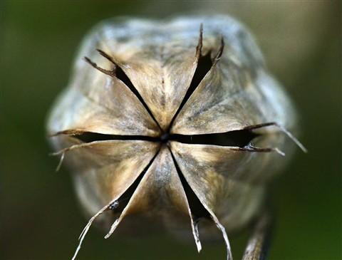 Seed Pod Star