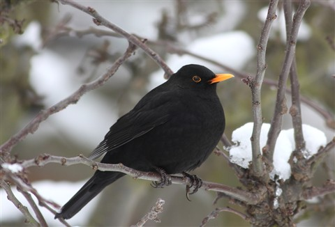IMG_7721 Blackbird in Winter