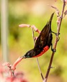 A Scarlet-chested Sunbird at Kruger National Park
